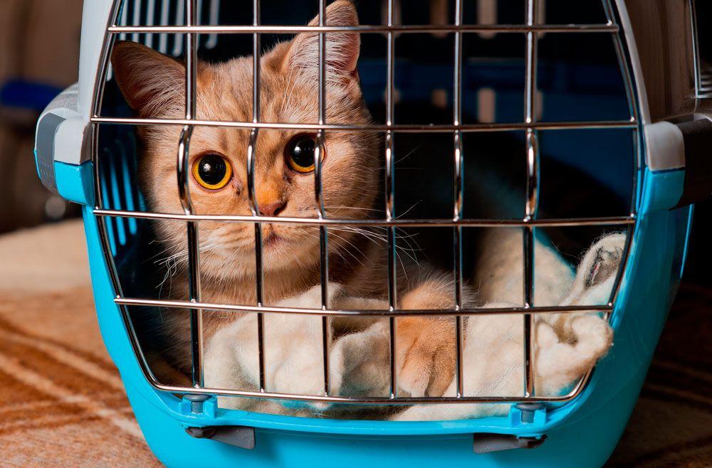 Resultado de imagen para viajar con gatos en el avión